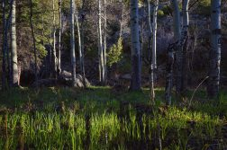 Morning Light In a Grove Of Aspens